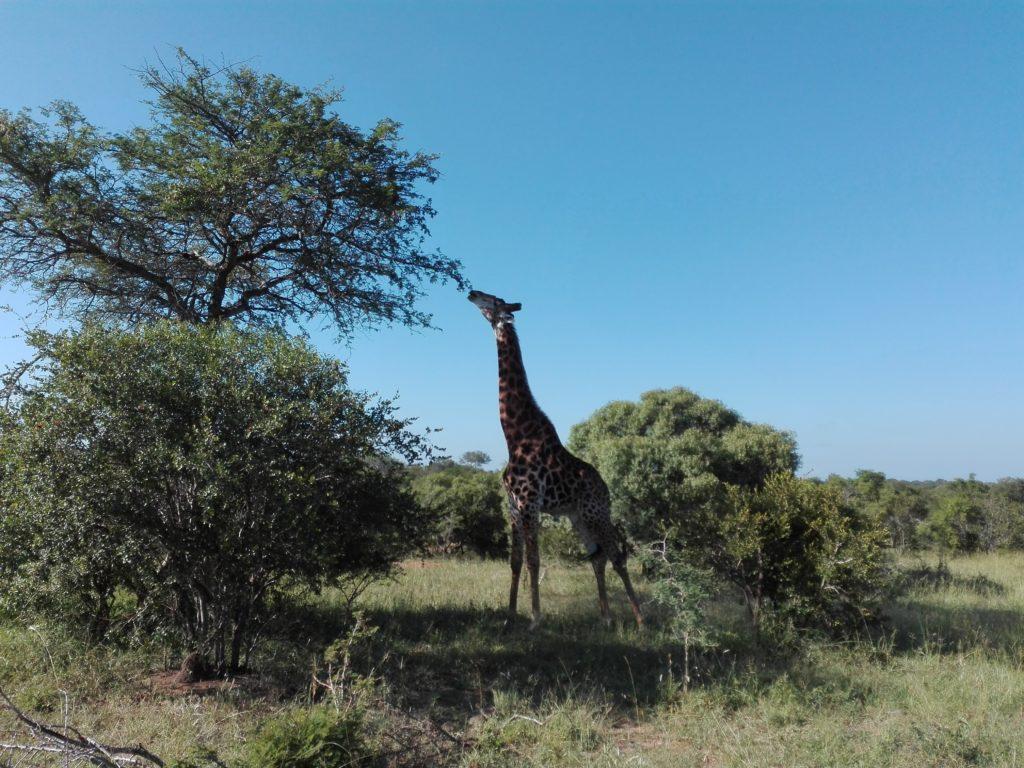 Safari in Kruger park Zuid-Afrika