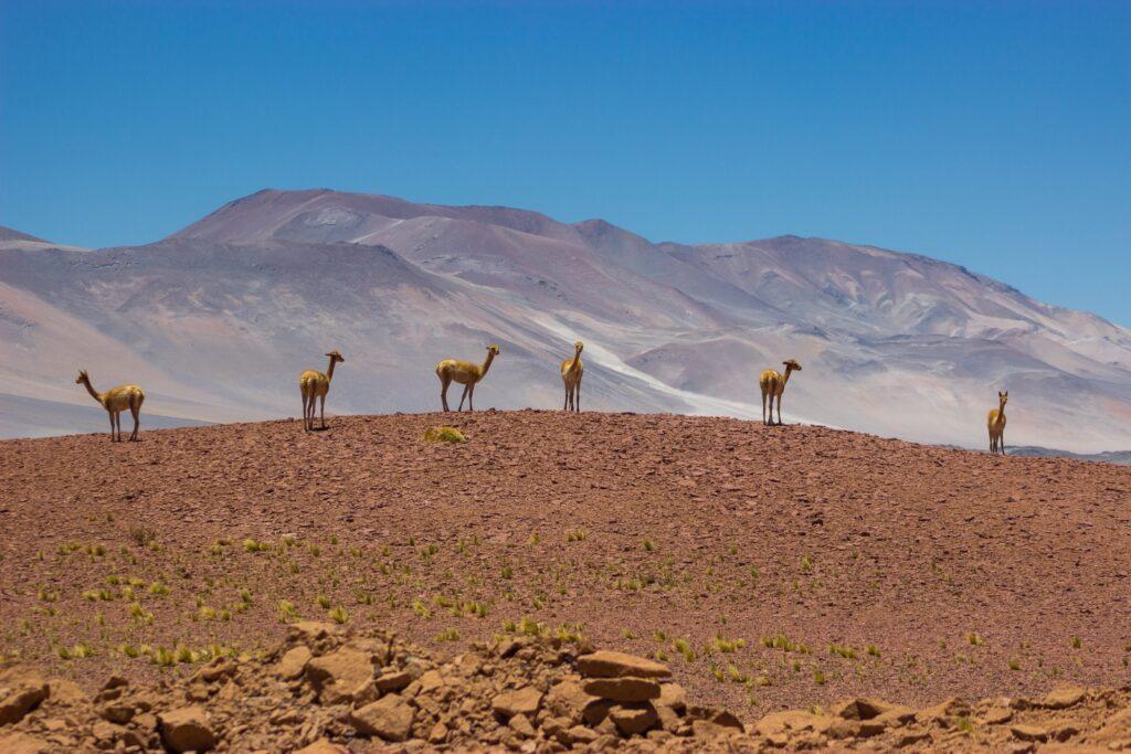 Alpaca's in de Atacama woestijn